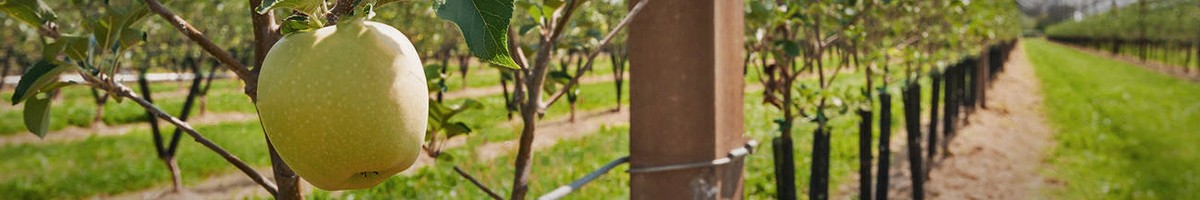 Az alma alanyai