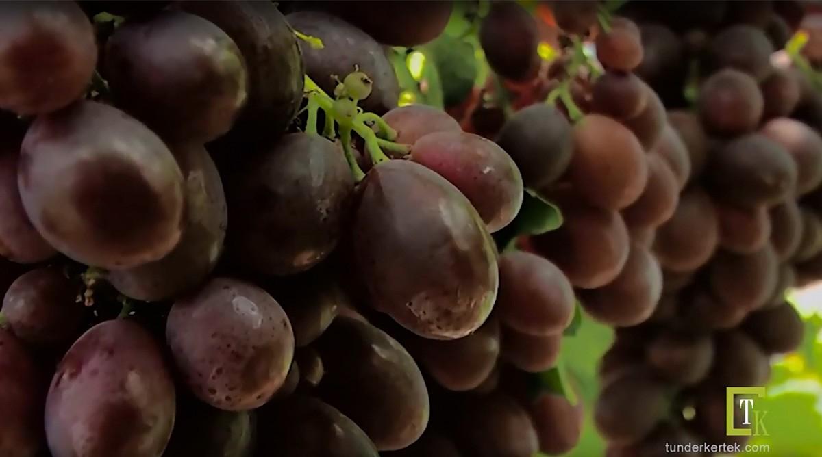 Csemegeszőlők a határon túl...