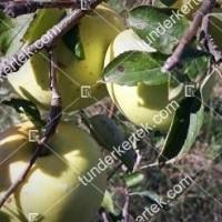 termek104//golden-delicious-104-1604499464-1200.jpg / Golden delicious alma