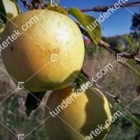 termek104//golden-delicious-104-1693284293-1200.jpg / Golden delicious alma