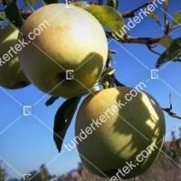 termek104//golden-delicious-104-446234771-1200.jpg / Golden delicious alma
