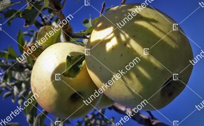 Golden delicious alma