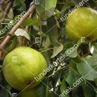 termek12/citromkorte-12-318518505-1200.jpg / Citromkörte