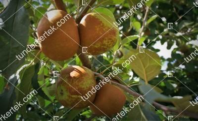 Parker Pepin alma (Bőralma)