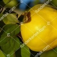 termek189/mezturi-birs-189-790374803-1200.jpg / Mezőtúri birs