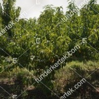 termek201/andosa-nektarin-201-941546748-1200.jpg / Andosa nektarin