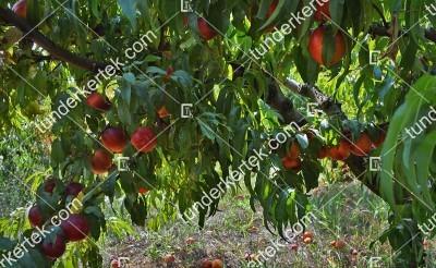 Apolka nektarin