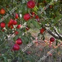 termek202/apolka-nektarin-202-1743803643-1200.jpg / Apolka nektarin