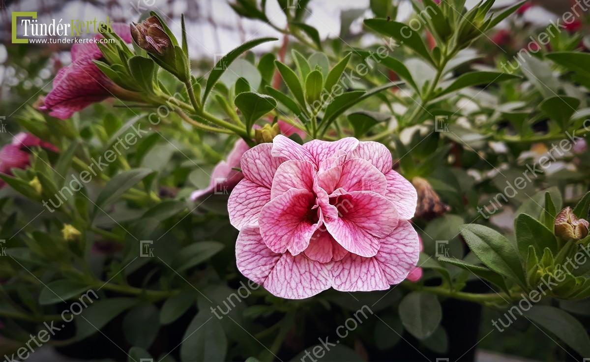 Nosztalgia mini rózsapetúnia