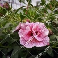 termek2074/nosztalgia-rozsapetunia-2074-1299271337-1200.jpg / Nosztalgia mini rózsapetúnia