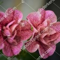 termek2074/nosztalgia-rozsapetunia-2074-1372229730-1200.jpg / Nosztalgia mini rózsapetúnia