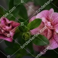termek2074/nosztalgia-rozsapetunia-2074-1401062104-1200.jpg / Nosztalgia mini rózsapetúnia