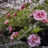 termek2074/nosztalgia-rozsapetunia-2074-211347850-1200.jpg / Nosztalgia mini rózsapetúnia