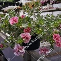 termek2074/nosztalgia-rozsapetunia-2074-612549948-1200.jpg / Nosztalgia mini rózsapetúnia