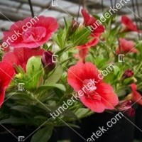 termek2075/meggypiros-mini-petunia-2075-1523047076-1200.jpg / Meggypiros mini petúnia