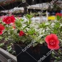 termek2075/meggypiros-mini-petunia-2075-1740119880-1200.jpg / Meggypiros mini petúnia