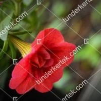 termek2075/meggypiros-mini-petunia-2075-2020380195-1200.jpg / Meggypiros mini petúnia