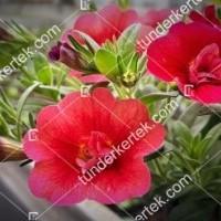 termek2075/meggypiros-mini-petunia-2075-608954413-1200.jpg / Meggypiros mini petúnia