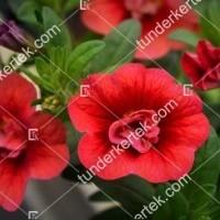 termek2075/meggypiros-mini-petunia-2075-902027152-1200.jpg / Meggypiros mini petúnia