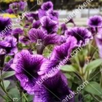 termek2076/lilaeres-mini-petunia-2076-117978065-1200.jpg / Lilaeres mini petúnia