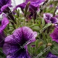 termek2076/lilaeres-mini-petunia-2076-1863263651-1200.jpg / Lilaeres mini petúnia