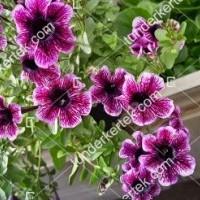 termek2077/vilagos-lilaeres-mini-petunia-2077-1523280813-1200.jpg / Világos lilaeres mini petúnia