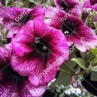 termek2078/orchidea-petunia-2078-2131982010-1200.jpg / Orchidea petúnia