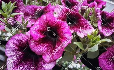 Orchidea petúnia