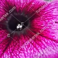 termek2078/orchidea-petunia-2078-252920818-1200.jpg / Orchidea petúnia