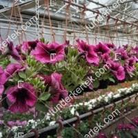 termek2078/orchidea-petunia-2078-348445912-1200.jpg / Orchidea petúnia