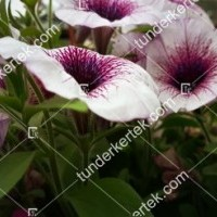 termek2079/lilaeres-feher-petunia-2079-1150541826-1200.jpg / Lilaeres fehér petúnia