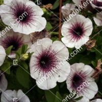 termek2079/lilaeres-feher-petunia-2079-1288340122-1200.jpg / Lilaeres fehér petúnia