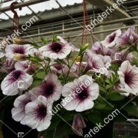 termek2079/lilaeres-feher-petunia-2079-1448019127-1200.jpg / Lilaeres fehér petúnia