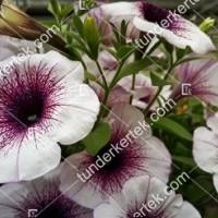 termek2079/lilaeres-feher-petunia-2079-2065733139-1200.jpg / Lilaeres fehér petúnia