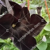 termek2080/fekete-petunia-2080-1052442182-1200.jpg / Fekete petúnia