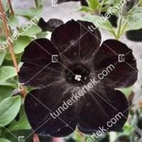 termek2080/fekete-petunia-2080-2126363298-1200.jpg / Fekete petúnia