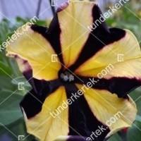 termek2081/tigriscsikos-petunia-2081-2012806536-1200.jpg / Tigriscsíkos petúnia