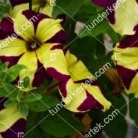 termek2081/tigriscsikos-petunia-2081-580114148-1200.jpg / Tigriscsíkos petúnia