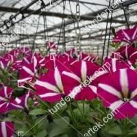termek2083/sangria-csillagos-petunia-2083-1086290041-1200.jpg / Sangria csillagos petúnia