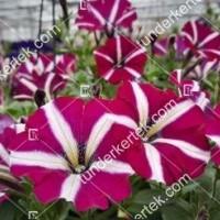 termek2083/sangria-csillagos-petunia-2083-950940213-1200.jpg / Sangria csillagos petúnia