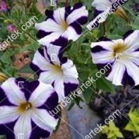 termek2084/kek-mamor-petunia-2084-1237514480-1200.jpg / Kék mámor petúnia