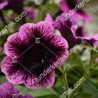 termek2087/lila-szem-petunia-2087-1955394073-1200.jpg / Lila szem petúnia