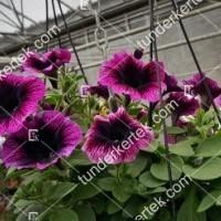 termek2087/lila-szem-petunia-2087-2080133167-1200.jpg / Lila szem petúnia