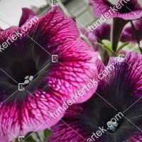 termek2087/lila-szem-petunia-2087-549435152-1200.jpg / Lila szem petúnia