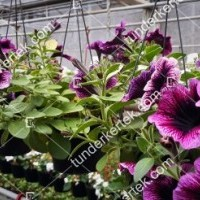 termek2087/lila-szem-petunia-2087-793749728-1200.jpg / Lila szem petúnia