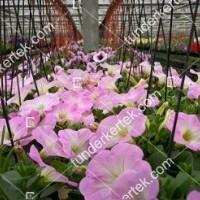 termek2088/rozsaszin-fellh-petunia-2088-1334249586-1200.jpg / Rózsaszín felhő petúnia