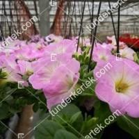 termek2088/rozsaszin-fellh-petunia-2088-1751201847-1200.jpg / Rózsaszín felhő petúnia