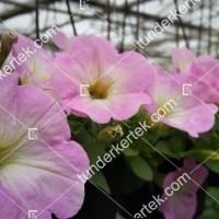 termek2088/rozsaszin-fellh-petunia-2088-706538991-1200.jpg / Rózsaszín felhő petúnia