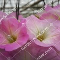 termek2088/rozsaszin-fellh-petunia-2088-79185995-1200.jpg / Rózsaszín felhő petúnia