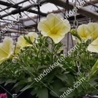 termek2089/citromsarga-petunia-2089-1100602189-1200.jpg / Citromsárga petúnia